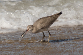 Birding, California Shore Birds, Bird Photos, Willet, Willets, Images of Willets, Willets Finding Clams