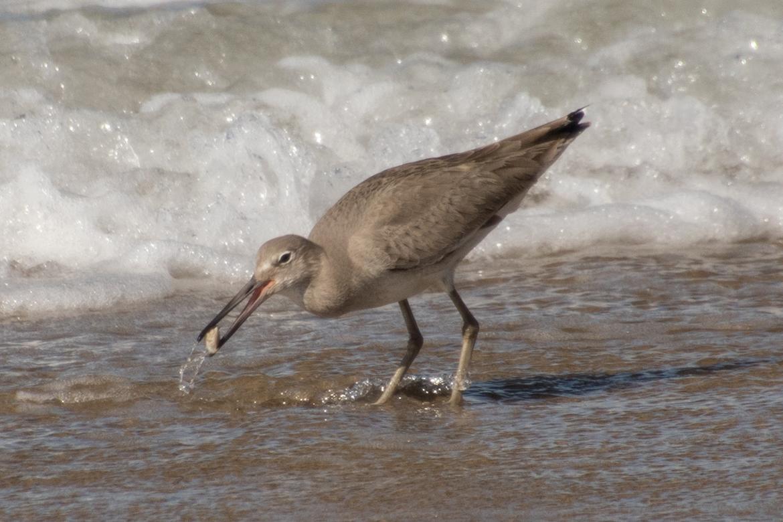 Birding, California Shore Birds, Bird Photos, Willet, Willets, Images of Willets, Willets Finding Clams