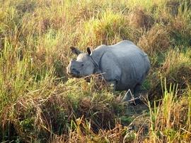 Grid p1246755  1  w one horned rhino