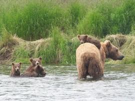 Brown Bears in Alaska, Brown Bears, Grizzly, Grizzlies, Alaska Brown Bears, Brown Bear with Cubs, Brown Bear Cubs, Bears Swimming in Alaska