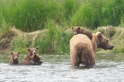 Brown Bears in Alaska, Brown Bears, Grizzly, Grizzlies, Alaska Brown Bears, Brown Bear with Cubs, Brown Bear Cubs, Bears Swimming in Alaska