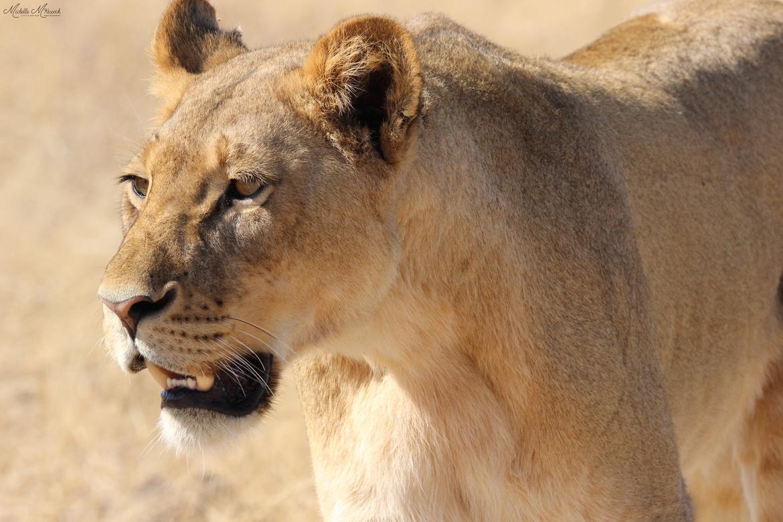 lion, lion photos, Zimbabwe, Zimbabwe wildlife, lions in Zimbabwe, Hwange National Park, Zimbabwe national parks