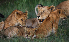 Lion pride, Kenya, African wildlife, lions, lion cubs, lion photography, lion images, lion pictures, Africa photography