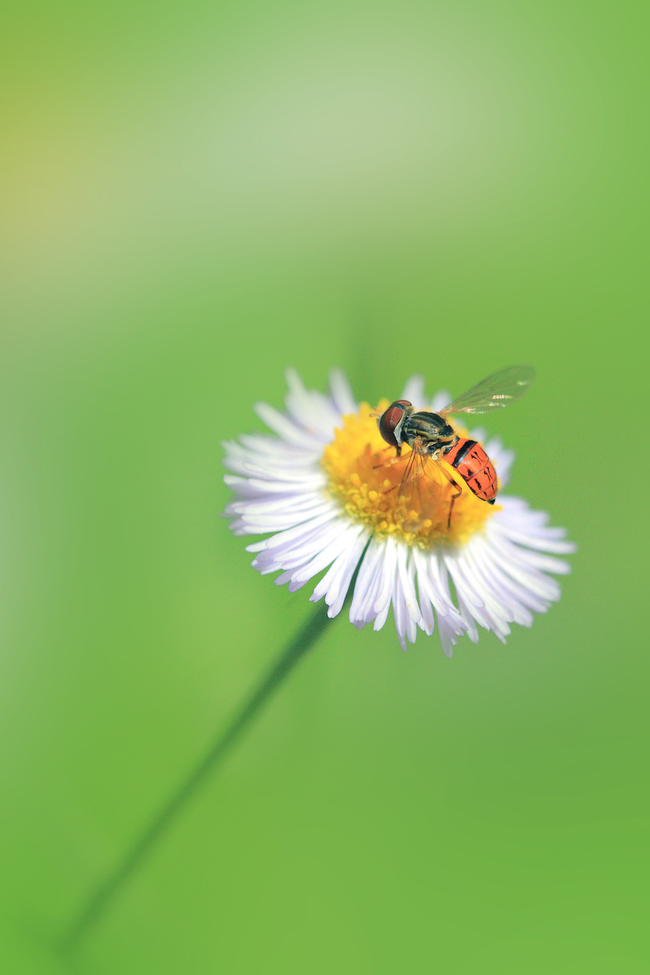 Bee, Bees, Bee on a Flower, Bees in Florida, Bees sipping nectar, Bee on a dandelion