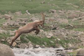 Alpine ibex, Alpine ibex photos, ibex photos, Italy wildlife, wildlife in Italy, Gran Paradiso National Park
