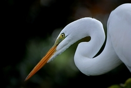 egret, egret photos, Great Egret, Great Egret photos, florida birds, florida wildlife, united states wildlife, united states birding