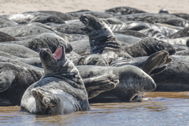 Gray seals, photos of gray seals, cape cod wildlife, massachusetts wildlife