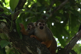 Monkey, Monkeys Images of Monkeys, Monkey Images, Mexico Monkeys, Squirrel Monkey, Photos of Squirrel Monkeys