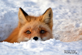 red fox, red fox photos, red fox images, wildlife in the US, united states wildlife, united states wildlife photos, us wildlife photos, wildlife in Alaska, foxes in Alaska, Anchorage
