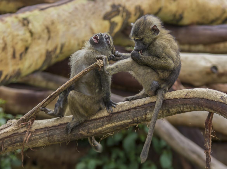 baboon, baboon photos, baboon in Kenya, Kenya wildlife, Kenya wildlife photos, africa safari photos, africa safari, botswana safari, botswana safari photos, Lake Nakuru, Lake Nakuru wildlife, Lake Nakuru wildlife photos, young baboons, baboons playing