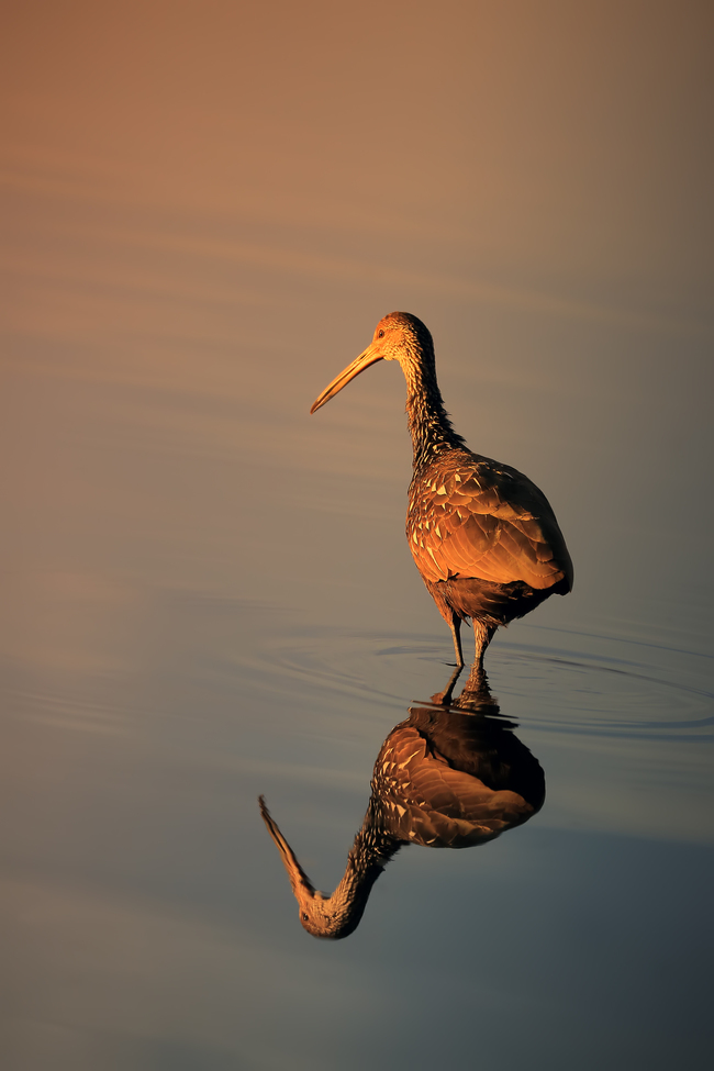Limpkin, Limpkins, Florida, Images of Limpkins, Limpkin Photos, Birding