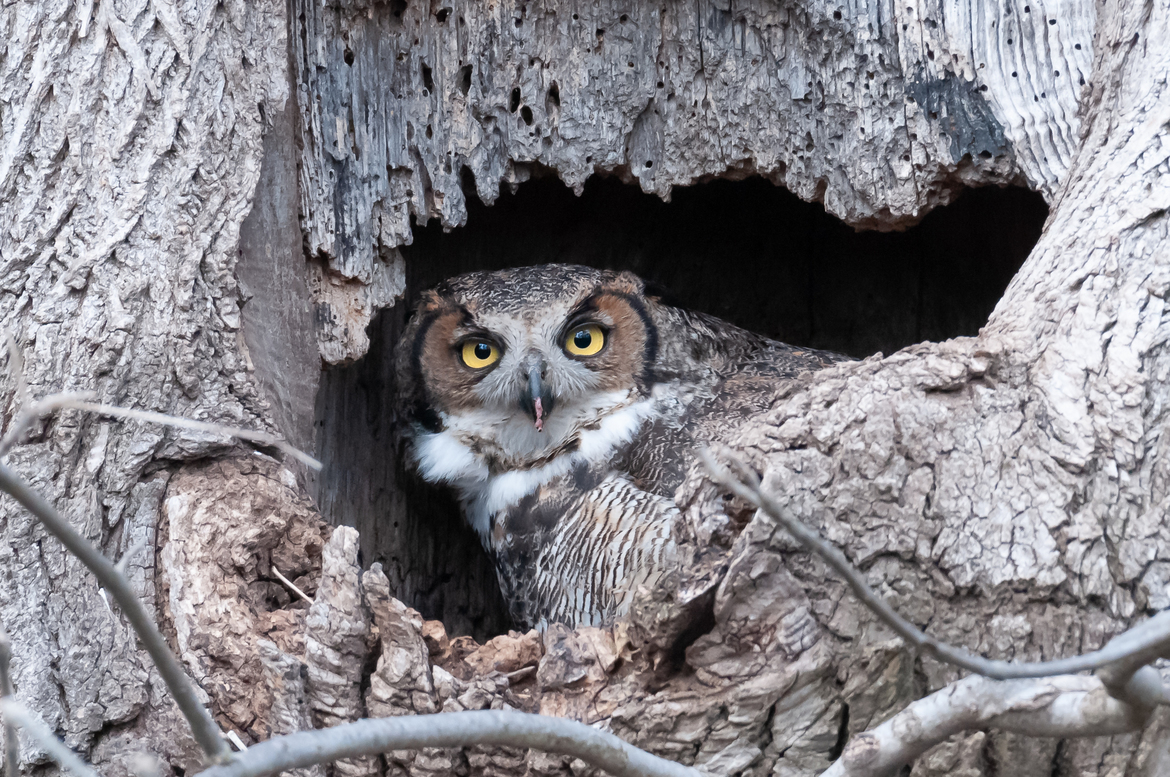 Owls, Owl Photos, Great Horned Owls, Pennsylvania, Pennsylvania Wildlife, Birding in Pennsylvania, Photos of Great Horned Owls, Great Horned Owl Images, Owl Photos
