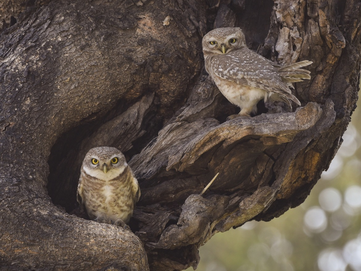 Owls, Owlets, India Owl Images, Photos of Owls
