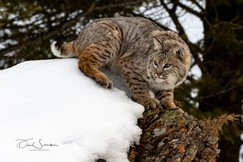 Bobcat, Bobcats, Montana, Images of Bobcats, Bobcat Photos,