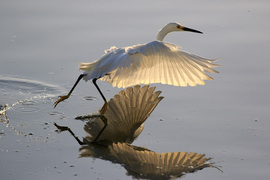 Grid great egret water walking at sunrise 1393 3 15 2019 9 38 33 am