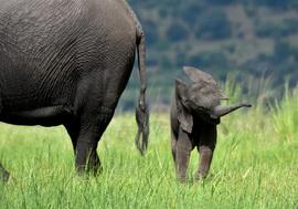 elephant, african elephant, elephant photos, african elephant photos, Botswana wildlife, Botswana wildlife photos, africa wildlife photos, africa wildlife, african safari photos, Chobe wildlife, Chobe wildlife photos, Chobe National Park, baby elephant