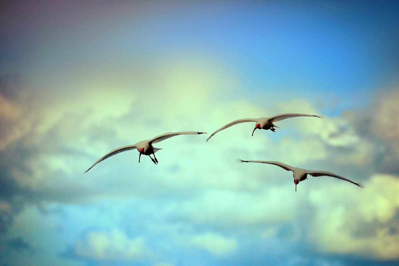 White Ibis, Ibis, Photos of Ibis, White Ibis Images, Florida Ibis, Ibis in Flight, Birding in Florida, White Birds in Florida