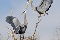 Blue herons, Blue Heron Photos, Colorado Birds, Blue Herons in Colorado, Birding in Colorado, Nesting Blue Herons,