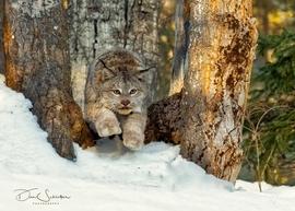 Montana Lynx, Lynx, Images of Montana Lynx, Lynx Photos, Photos of Montana Lynx