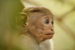 Toque Macaque, Toque Macaque photos, Images of Macaques, Sri Lanka Macaques, Macaques of Sri Lanka