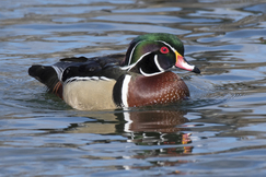 Ducks, Wood Ducks, New York Wood Ducks, Wood Duck Photos, Wood Duck Images, Photos of Ducks