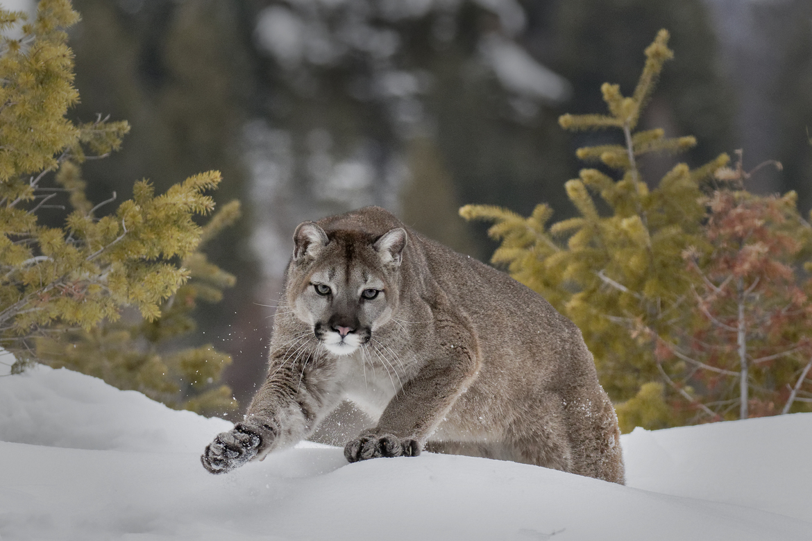 Mountain Lion, Mountain Lions, Montana Mountain Lions, Mountain Lion Ohotos, Images of Mountain Lions, Mountain Lions in Snow