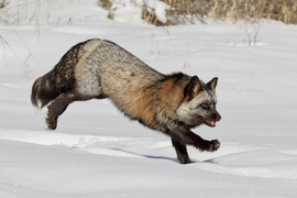 Fox, Foxes, Vulpes Vulpes, Cross Fox, Montana, Images of Foxes, Fox Photos