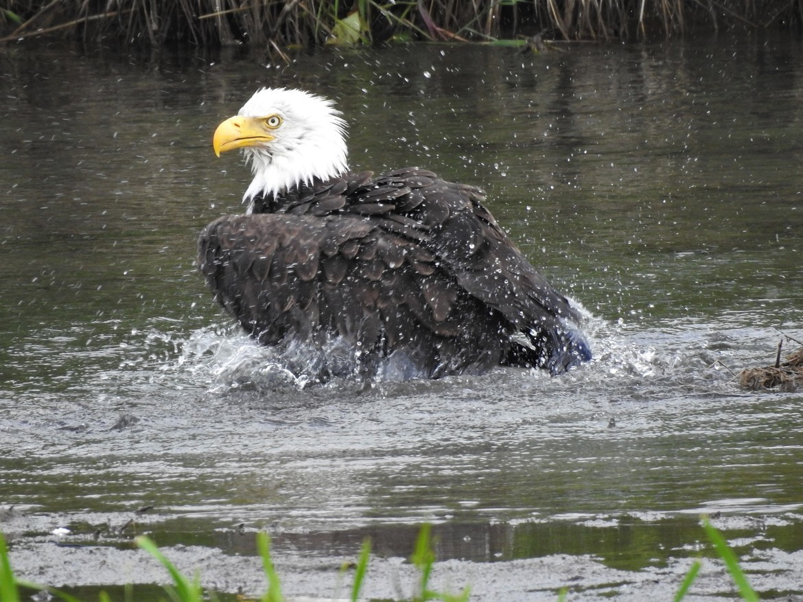 Eagles, Bald Eagles, Bald Eagle, Alaska Eagles, Images of Bald Eagles, Bald Eagle Photos
