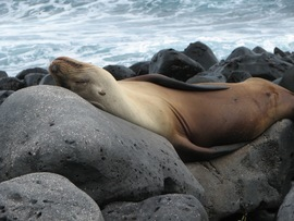 Galapagos Seals, Sea Lion, Sea Lion Images, Photos of Galapagos Sea Lions, Sea Lion, Sea Lions