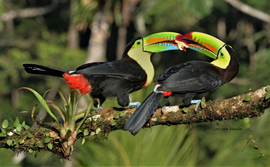 Wild Keel Billed Toucan, Toucans, Costa Rica Birds, Costa Rica, Images of Toucans, TWild Keeled Toucan Photos