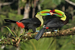 Wild Keel Billed Toucan, Toucans, Costa Rica Birds, Costa Rica, Images of Toucans, TWild Keeled Toucan Photos