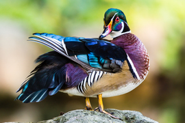 Wood Duck, Wood Ducks, Ducks, Photos of Wood Ducks, Canada Wildlife, Images of Wood Ducks, Birding