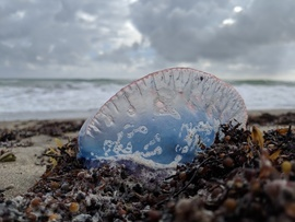 Florida Jellyfish, Man of War, Photos of Man of War, Man of War Images, Jellyfish, Jellyfish in Florida