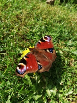 Butterflies, Peacock Butterfly, Photos of Peacock Butterflies, Peacock Butterfly Images, Butterfly