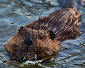 Beaver, Beavers, British Columbia, Photos of Beavers Eating, Beaver Images,