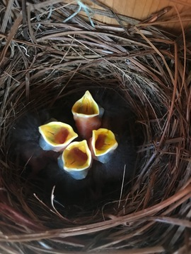 Bluebird Chicks, Bluebirds, Birding, Images of Bluebird nest, Photos of Bluebird Chicks, Florida Bluebirds