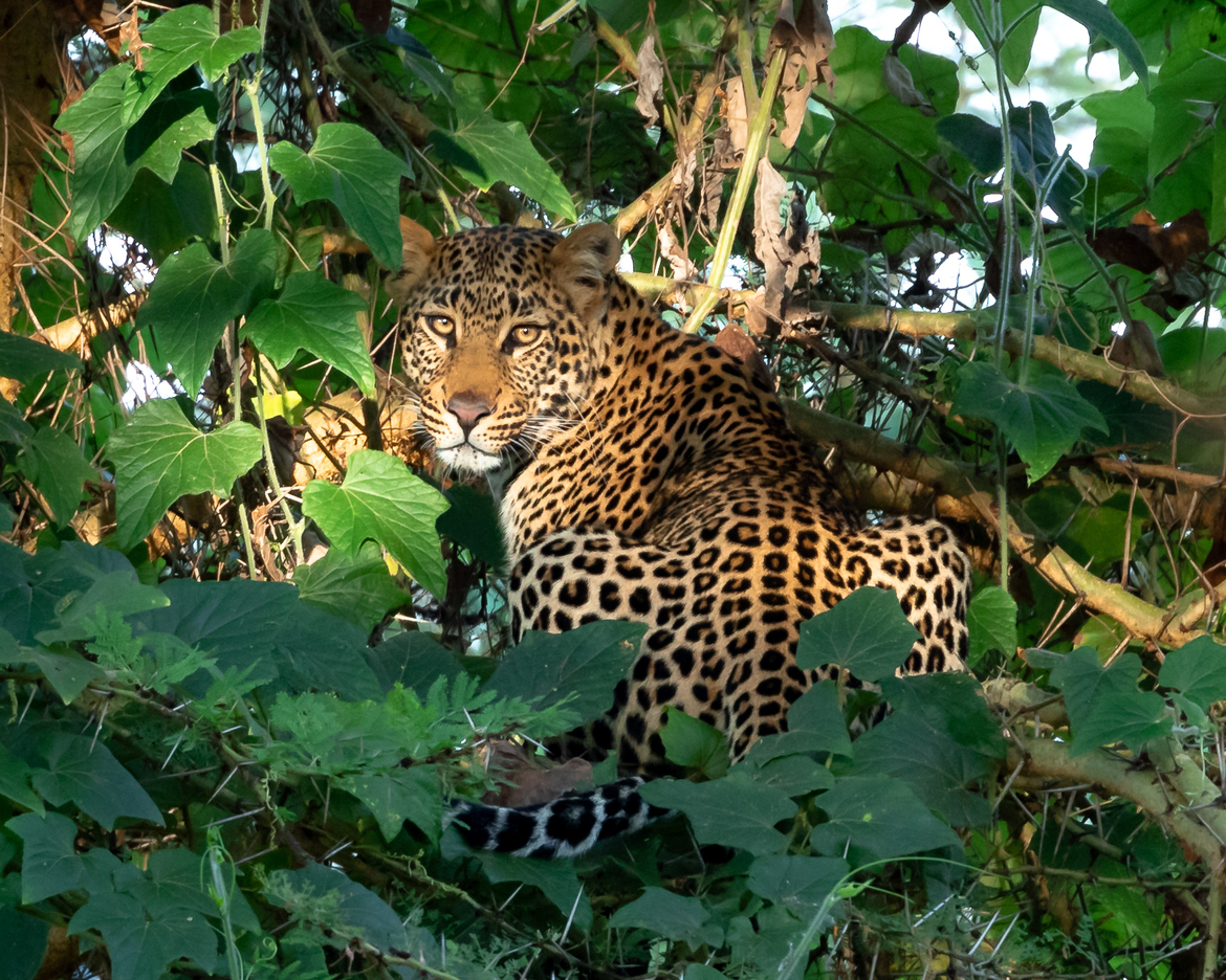 Leopards, Leopard, Kenya, African Cats, Images of Leopards, Kenya Leopard Photos, Leopard in a Tree, East African Leopards