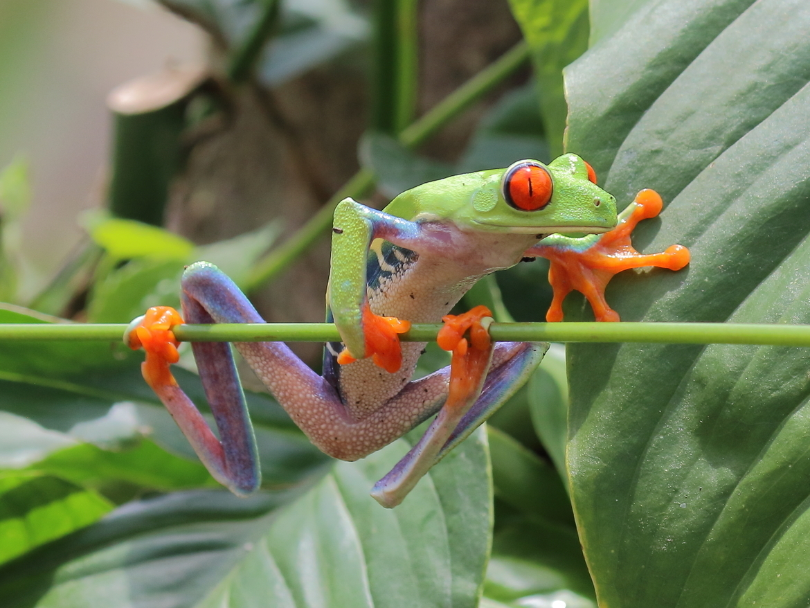 Frogs, Red Eyed Tree Frog, Tree Frogs, Tree Frog, Costa Rica, Images of Tree Frogs, Tree Frog Photos