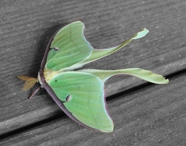 Moths, Texas Moths, Images of Moths, Photos of Moths