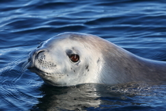 Seal, Seals, Crabeater Seal, Antarctica, Seal Photos, Images of Crabeater Seals