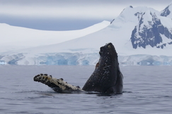 Whales, Whale, Spyhopping Whales, Photos of Whales in Antarctica, Whale Images, Antarctica Whales