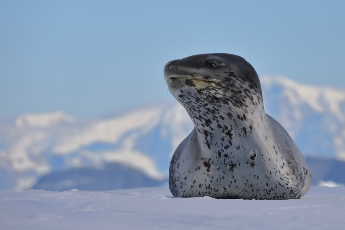 Seal, Seals, Leopard Seals, Leopard Seal, Antarctica, Images of Seals, Leopard Seal Photos,