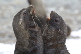 Fur Seals, Fur Seal, Antarctica Seals, Images of Fur Seals, Fur Seal Photos Antarctica Wildlife, Seals