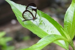 Glass Wing Butterfly, Butterflies, Belize, Photos of Glass Wing Butterflies, Butterfly Images, Belize Butterflies