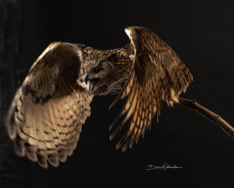 Eagle, Washington State, Birding, Eagles, Eagle Owl, Eagle Owl in Flight, Eagle Owls