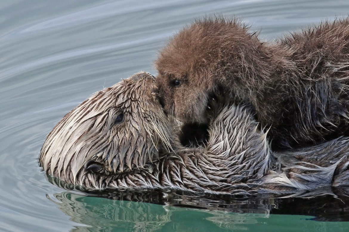 California, Sea Otter, Sea Otters, Sea Otter Mom and Pup,  Photos of Sea Otter and Pup, Sea Otter Images