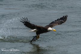 Eagles, Bald Eagles, Maryland, Susquehanna River, Images of Eagles Fishing, Bald Eagle Photos