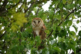 Owl, Owls, Owl in A Tree, Photos of Owls, Owls in California, Barn Owl Barn Owls