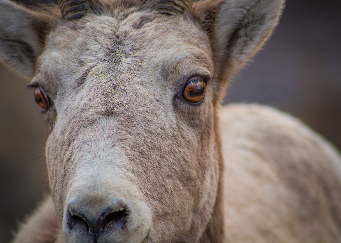 Bighorn, Bighorn Sheep, Montana, Images of Bighorn Sheep, Bighorn Sheep Photos