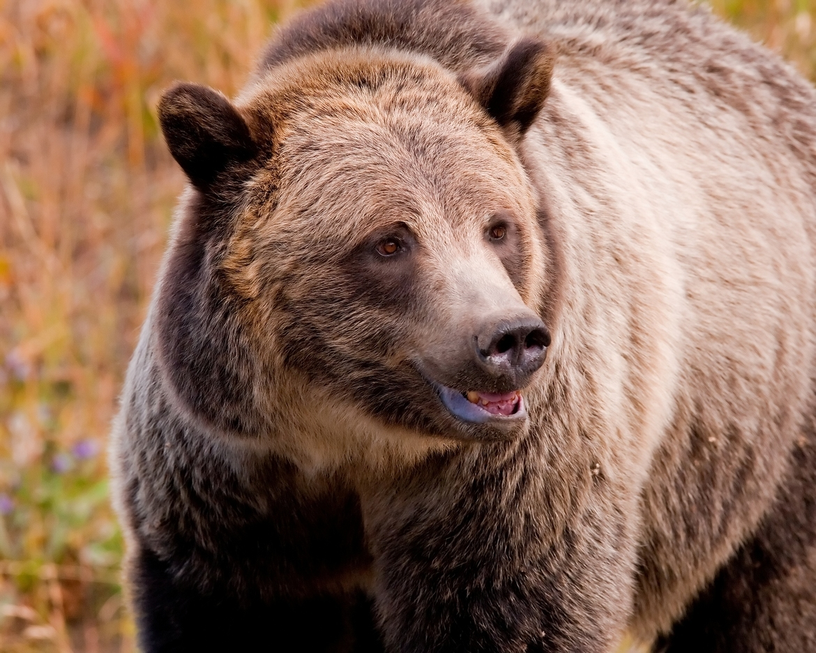 Grizzly Bear, Grizzly Bears,  Images of Grizzlies, Yellowstone Grizzly Bears, Photos of Brown Bears, Grizzly Bear Photos
